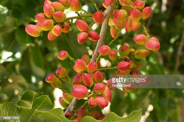 Close-up of Ripening Pistachio on Tree