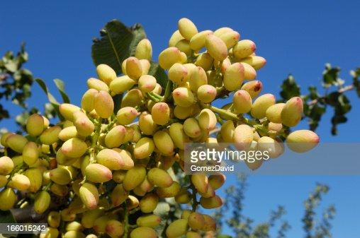 Closeup Of Ripening Pistachio On Tree Stock Photo | Getty ...