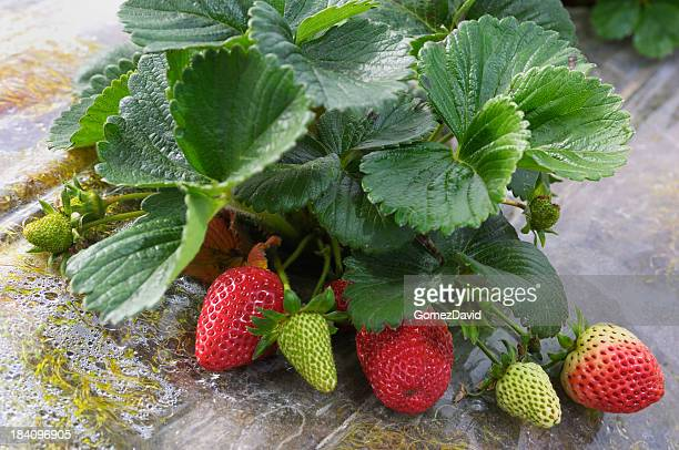 Close-up of Ripening Strawberies on the Vine