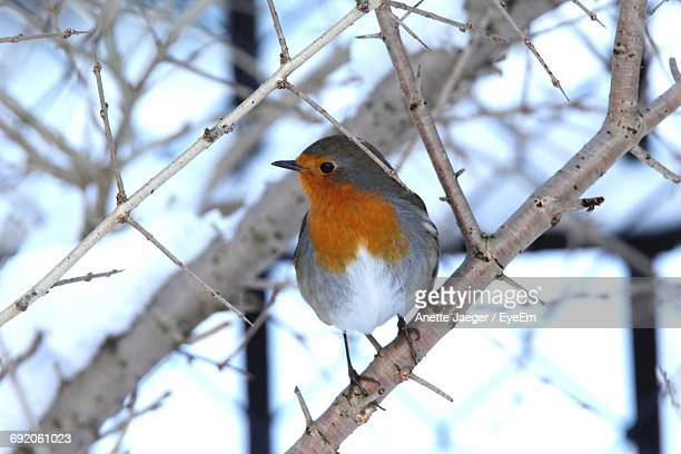Close-Up Of Robin Perching On Branch During Winter