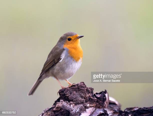Close-Up Of Robin (Erithacus rubecula) , standing on a stone . Spain, Europe.