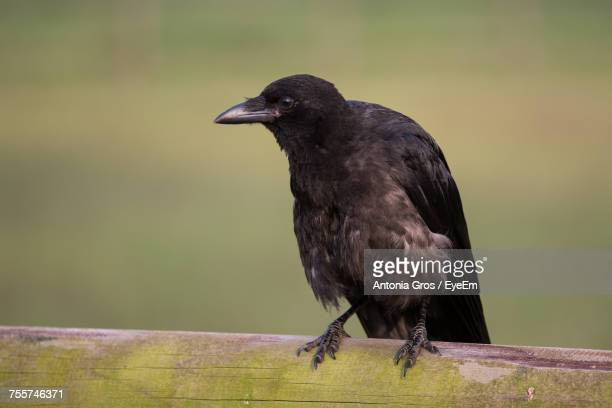 Close-Up Of Rook Perching On Wooden Railing