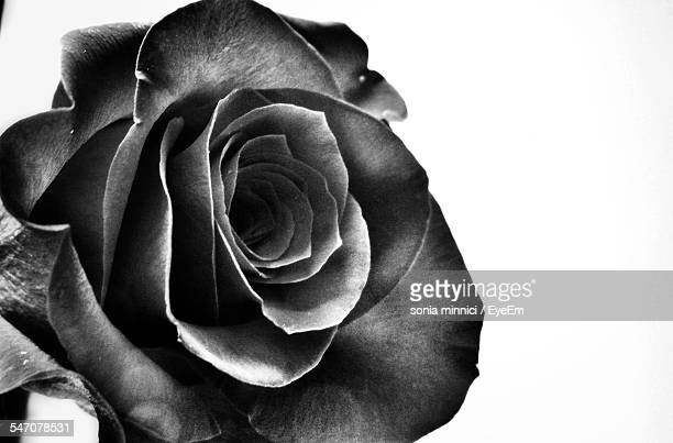 Close-Up Of Rose Against White Background