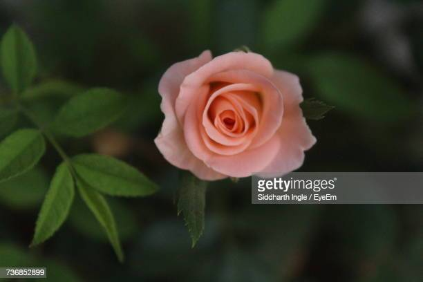 Close-Up Of Rose Blooming Outdoors