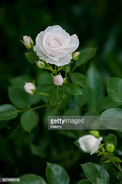 Close-Up Of Rose Colored Roses. Garden. Rose Quartz