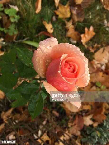Close-up of rose in autumn