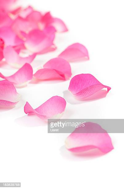 Close-up of rose petals on white