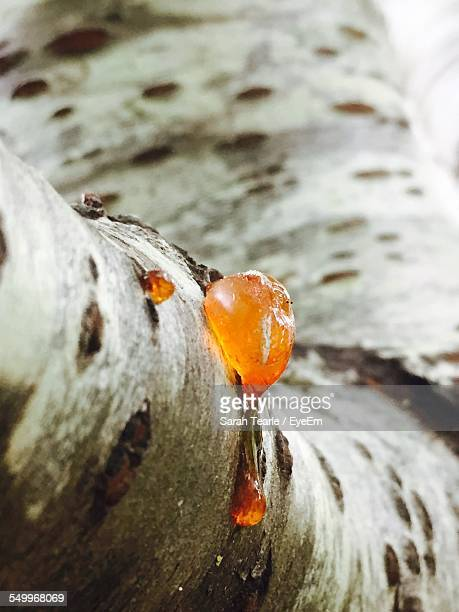 Close-Up Of Rosin On Tree Trunk