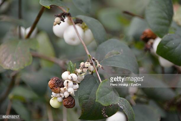 Close-Up Of Rotten Berries On Plant
