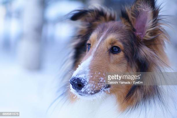 Close-Up Of Rough Collie Looking Away During Winter