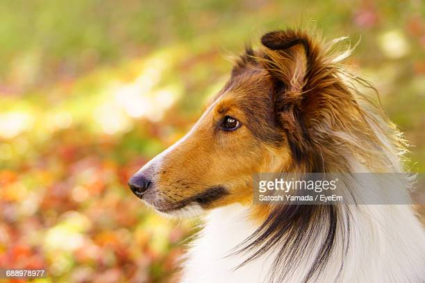 Close-Up Of Rough Collie