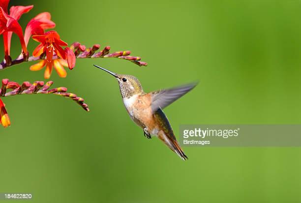 Closeup of Rufous hummingbird and Crocosmia flowers