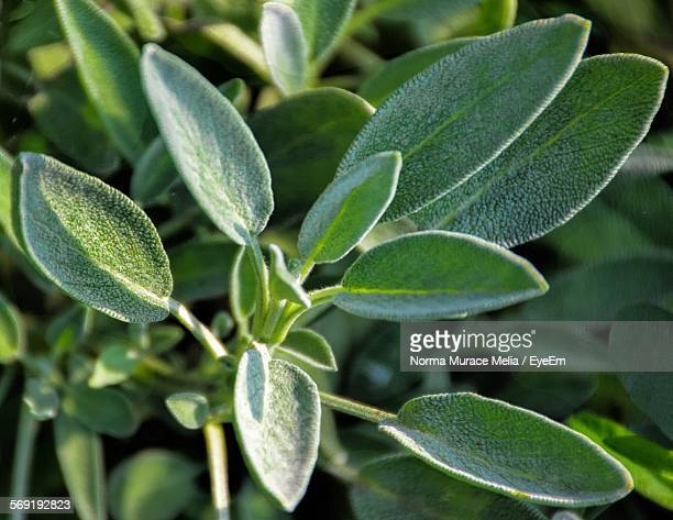 Close-up of sage growing in garden
