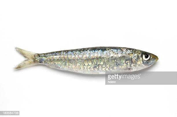 Close-up of sardine against white background