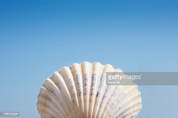 Close-up of scallop shell