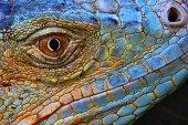 Amazing Iguana specimen displaying a beautiful blue colorization of the scales
