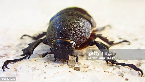 Close-Up Of Scarab Beetle