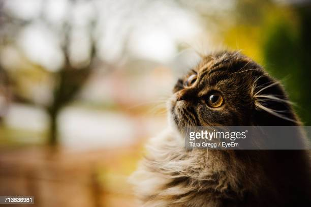 Close-Up Of Scottish Fold Kitten Looking Up
