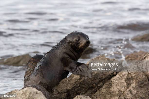 Close-Up Of Sea Lion On Rock At Beach