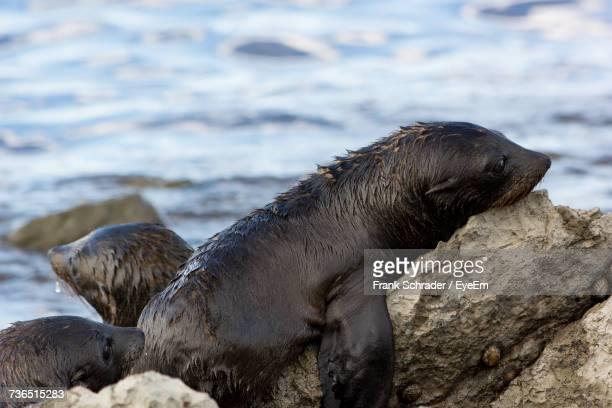 Close-Up Of Sea Lions On Rock At Beach