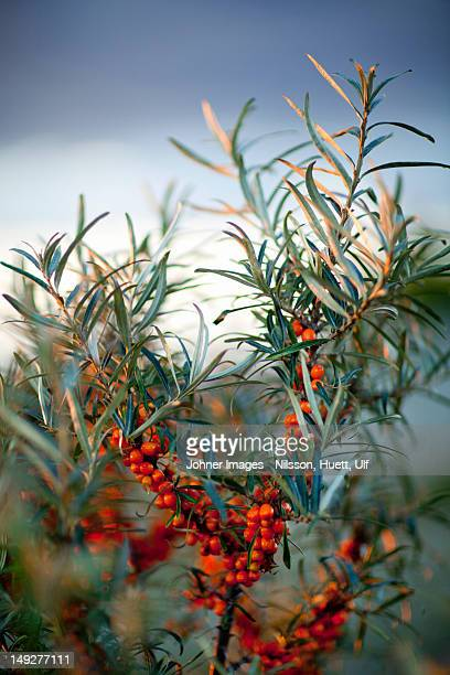 Close-up of sea-buckthorns with berries