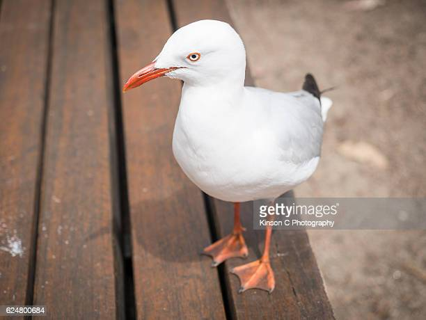 Closeup of seagull on a park bench