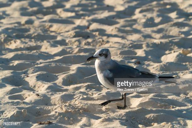 Close-Up Of Seagull On Snow At Beach
