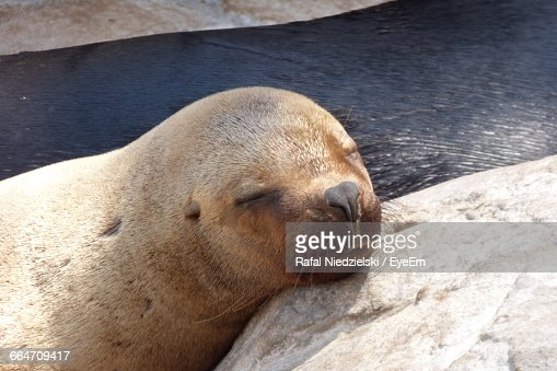 Close-Up Of Seal Sleeping On Rock