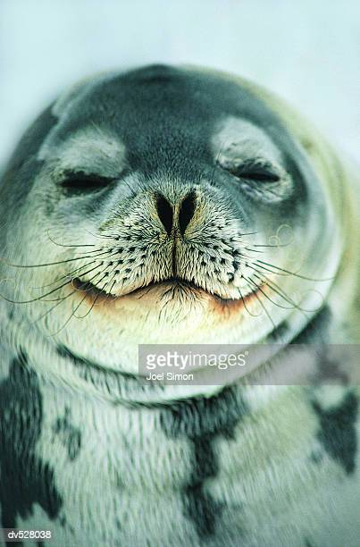 Close-up of Seal's face