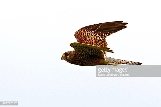 Close-Up Of Sharp-Shinned Hawk Flying In Clear Sky