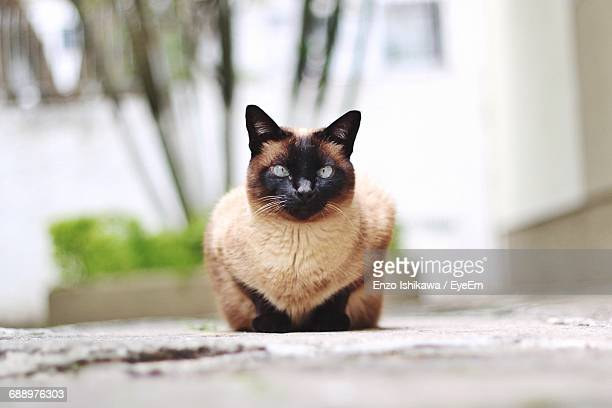 Close-Up Of Siamese Cat Outdoors