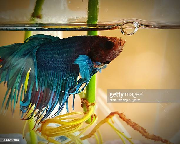 Siamese fighting fish stock photos and pictures getty images for Fighting fish tank
