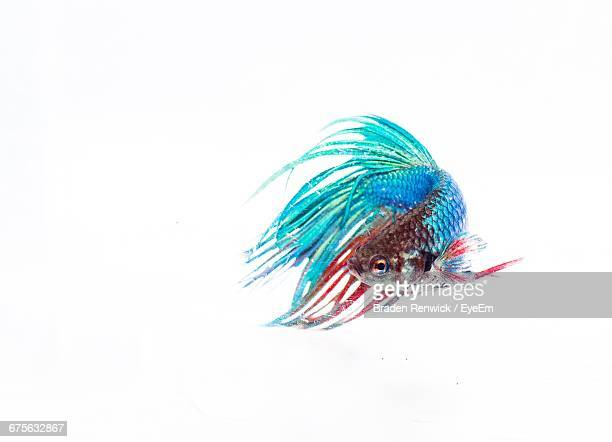 Close-Up Of Siamese Fighting Fish Swimming Against White Background