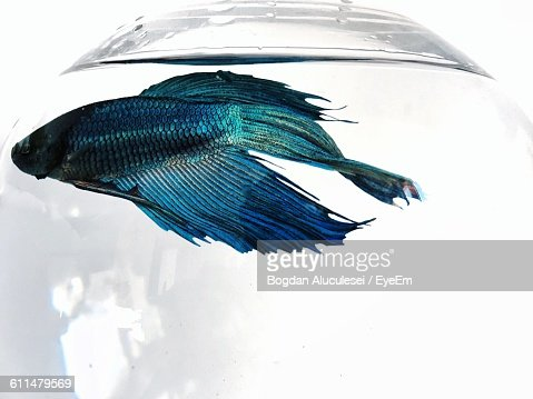 Close-Up Of Siamese Fighting Fish Swimming In Fishbowl