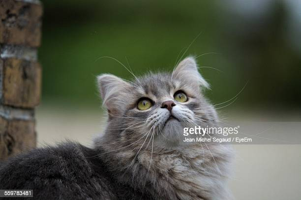Close-Up Of Siberian Cat Looking Up By Wall