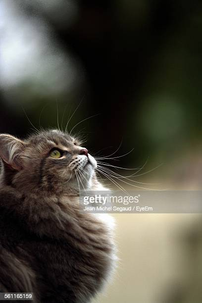Close-Up Of Siberian Cat Looking Up Outdoors