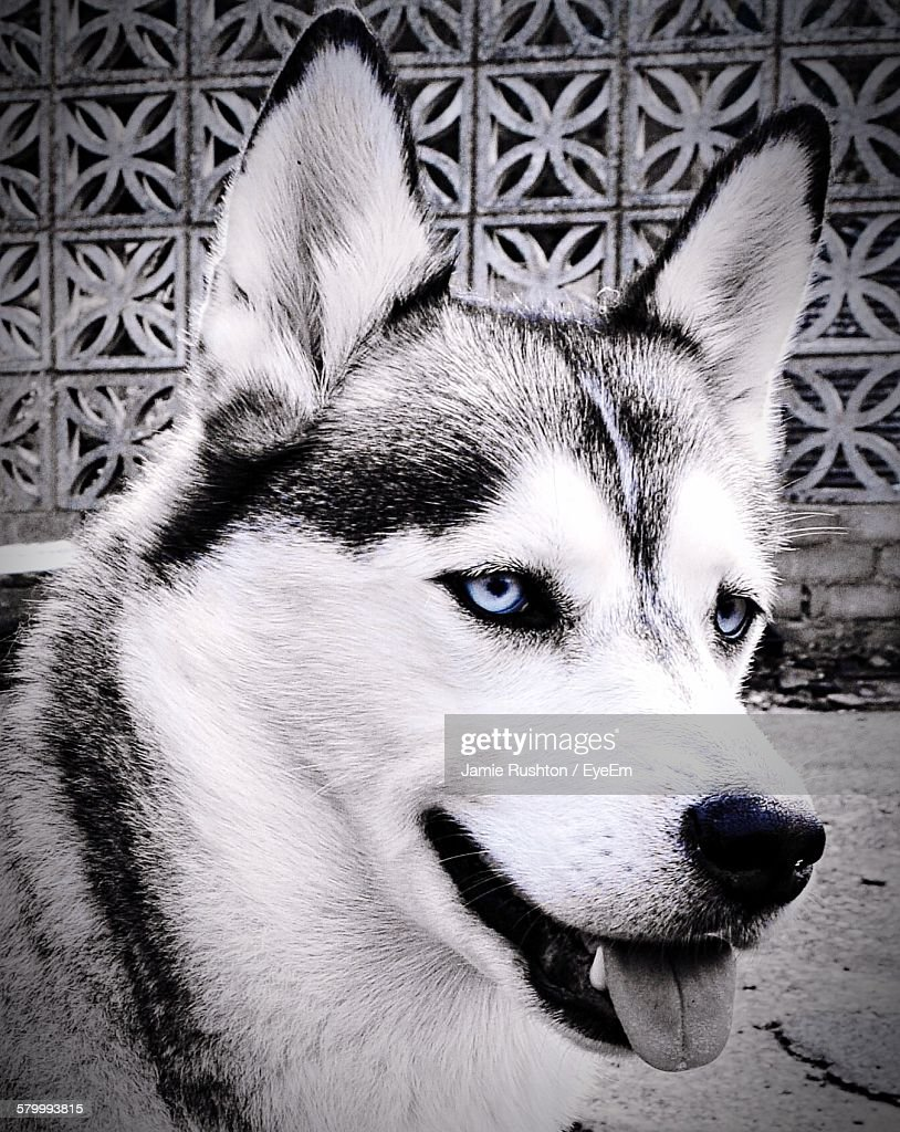 closeup of siberian husky with blue eyes stock photo getty images