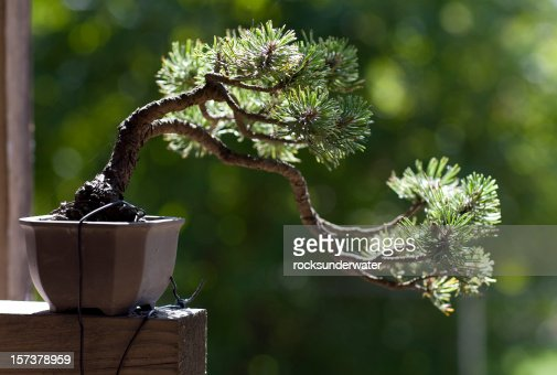 Close-up of single Bonsai Tree by a window sill