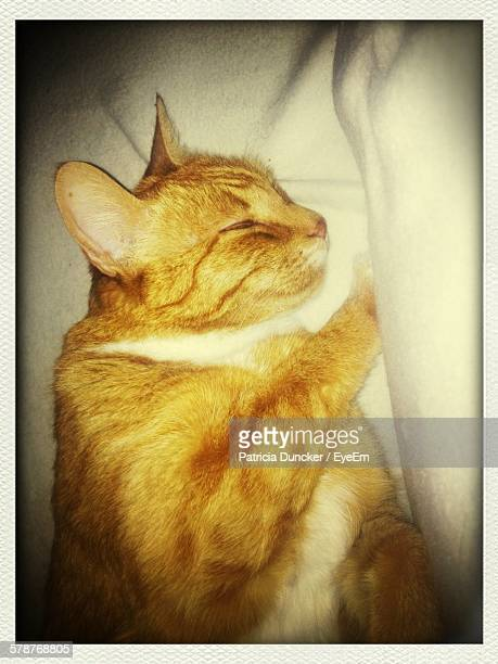 Close-Up Of Sleeping Ginger Cat