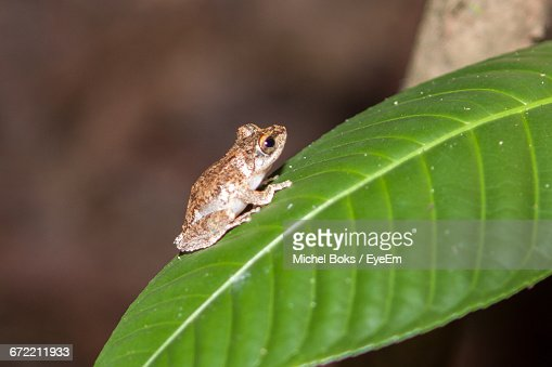 Close-Up Of Small Frog On Plant Leaf At Night