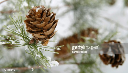 Close-up of small pinecone on snowy end of branch