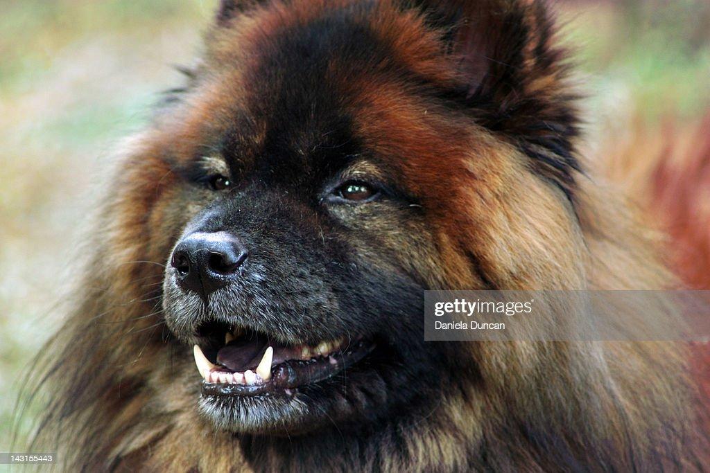 Close-up of smiling Eurasier : Stock Photo