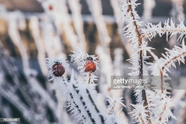 Close-Up Of Snow On Flower During Winter
