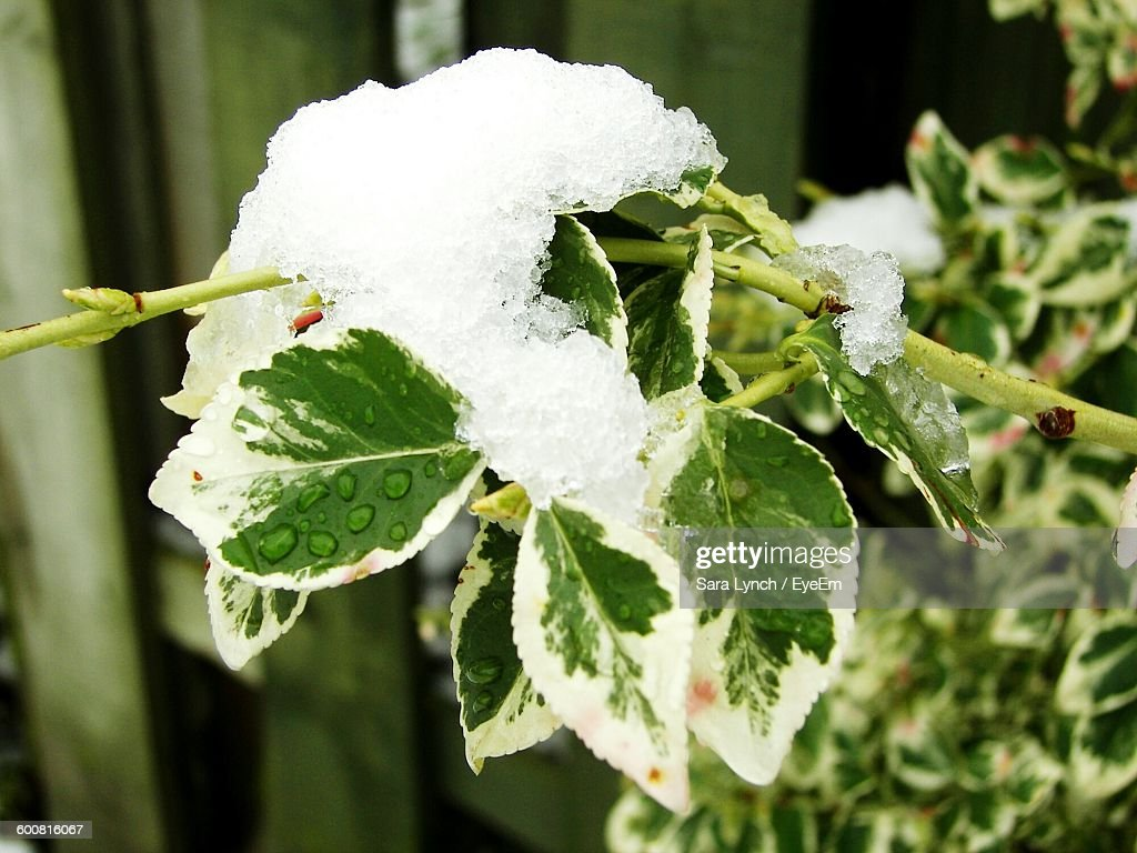 Close-Up Of Snow On Plant : Stock Photo