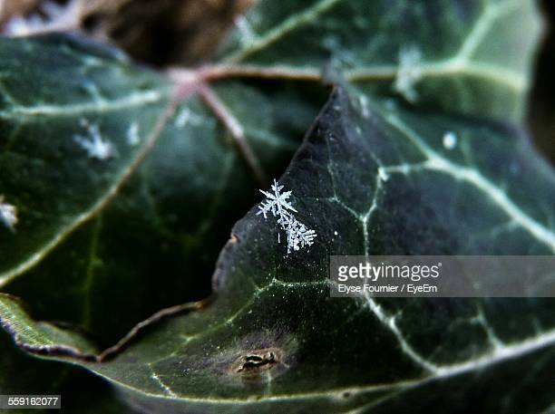 Close-Up Of Snowflakes On Leaf