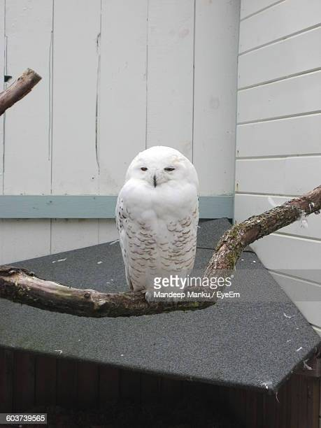 Close-Up Of Snowy Owl Perching On Twig At Zoo