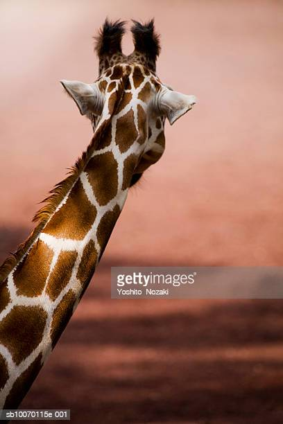 Close-up of Somali giraffe (Giraffa camelopardalis reticulata), looking away