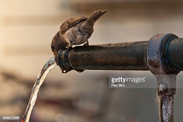 Close-Up Of Sparrow Drinking Water