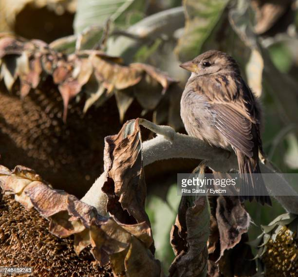 Close-Up Of Sparrow Perching On Wilted Sunflower