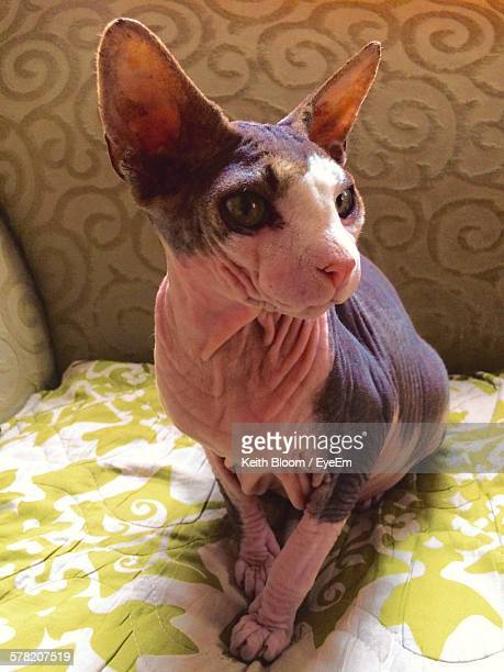 Close-Up Of Sphynx Cat Sitting On Sofa At Home